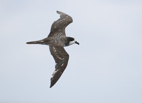 Dark-rumped Petrel (Pterodroma phaeopygia) photo