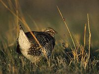Sharp-tailed Grouse (Tympanuchus phasianellus) photo