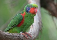 Red-flanked Lorikeet - Charmosyna placentis
