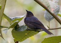Capped Conebill - Conirostrum albifrons