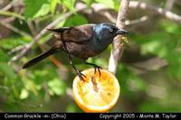 Common Grackle (male - purple) - Ohio