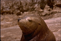 : Eumetopias jubatus; Northern Steller's Sea Lion