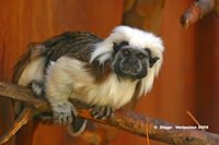 : Saguinus oedipus; Cotton-top Tamarin