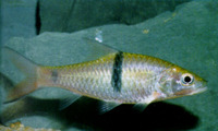 Hampala macrolepidota, Hampala barb: fisheries, gamefish