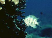 Amblyglyphidodon curacao, Staghorn damselfish: aquarium
