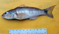 Diplectrum pacificum, Inshore sand perch: fisheries