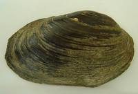Unio crassus - Thick Shelled River Mussel