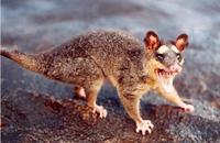 Image of: Philander opossum (gray four-eyed opossum)