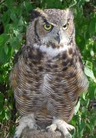 Image of: Bubo virginianus (great horned owl)