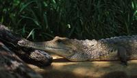 Image of: Crocodylus johnstoni (Johnston's crocodile)