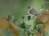 Yellow-crowned Tyrannulet (Tyrannulus elatus) photo
