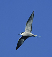 Aleutian Tern (Sterna aleutica) photo