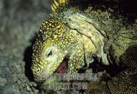 Land Iguana Eating Galapagos Close Up stock photo