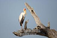 yellow billed stork in tree stock photo