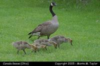 Canada Goose with goslings - Ohio