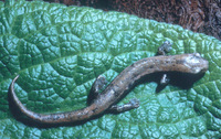 : Bolitoglossa occidentalis
