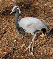 : Anthropoides virgo; Demoiselle Crane