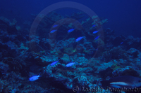 : Chromis cyanea; Blue Chromis Damselfish