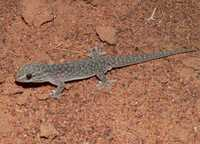 : Gehyra purpurescens