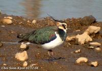 Fig. 9. Northern Lapwing :  댕기물떼새