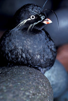Picture of a Whiskered Auklet (Aethia pygmaea)