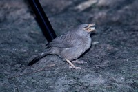 ツチイロヤブチメドリ Jungle Babbler Turdoides striatus