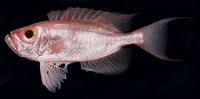 Priacanthus tayenus, Purple-spotted bigeye: fisheries