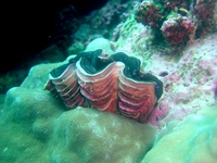 Tridacna squamosa - Fluted giant clam