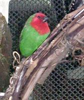 Image of: Erythrura psittacea (red-throated parrotfinch)