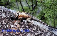 Image of: Sceloporus poinsettii (crevice spiny lizard)