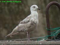 Slaty-backed Gull - Larus schistisagus
