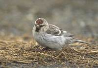 Hoary Redpoll (Carduelis hornemanni) photo