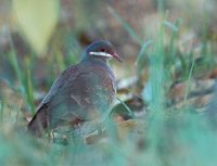 Key West Quail-Dove (Geotrygon chrysia) photo