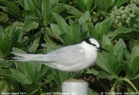 Black-naped Tern - Sterna sumatrana