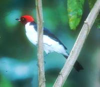 Red-capped Cardinal, Paroaria gularis