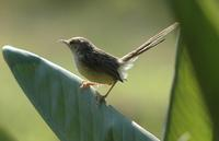 Graceful Warbler  Prinia gracilis