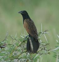 Black Coucal p.196