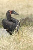 : Bucorvus leadbeateri; Southern Ground Hornbill