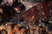 : Oxylebius pictus; Painted Greenling