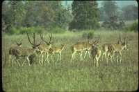 : Axis axis; Chital