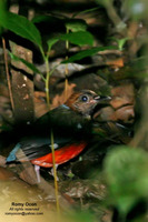 Red-bellied Pitta Scientific name - Pitta erythrogaster