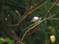 Parus montanus Willow Tit コガラ