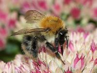 Bombus pascuorum - Common Carder-bee