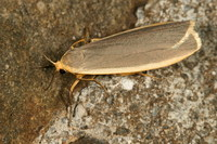 Eilema lurideola - Common Footman
