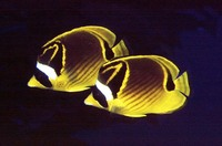 Chaetodon lunula, Raccoon butterflyfish: fisheries, aquarium