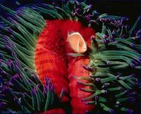 Image of: Amphiprion perideraion (false skunkstriped anemonefish), Heteractis magnifica