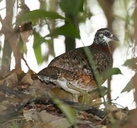 Chestnut-necklaced Partridge - Arborophila charltonii
