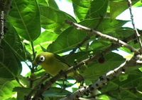 Golden-green White-eye - Zosterops nigrorum