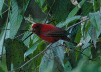 Scarlet Finch - Haematospiza sipahi