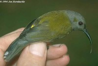 Grey-hooded Sunbird - Aethopyga primigenia